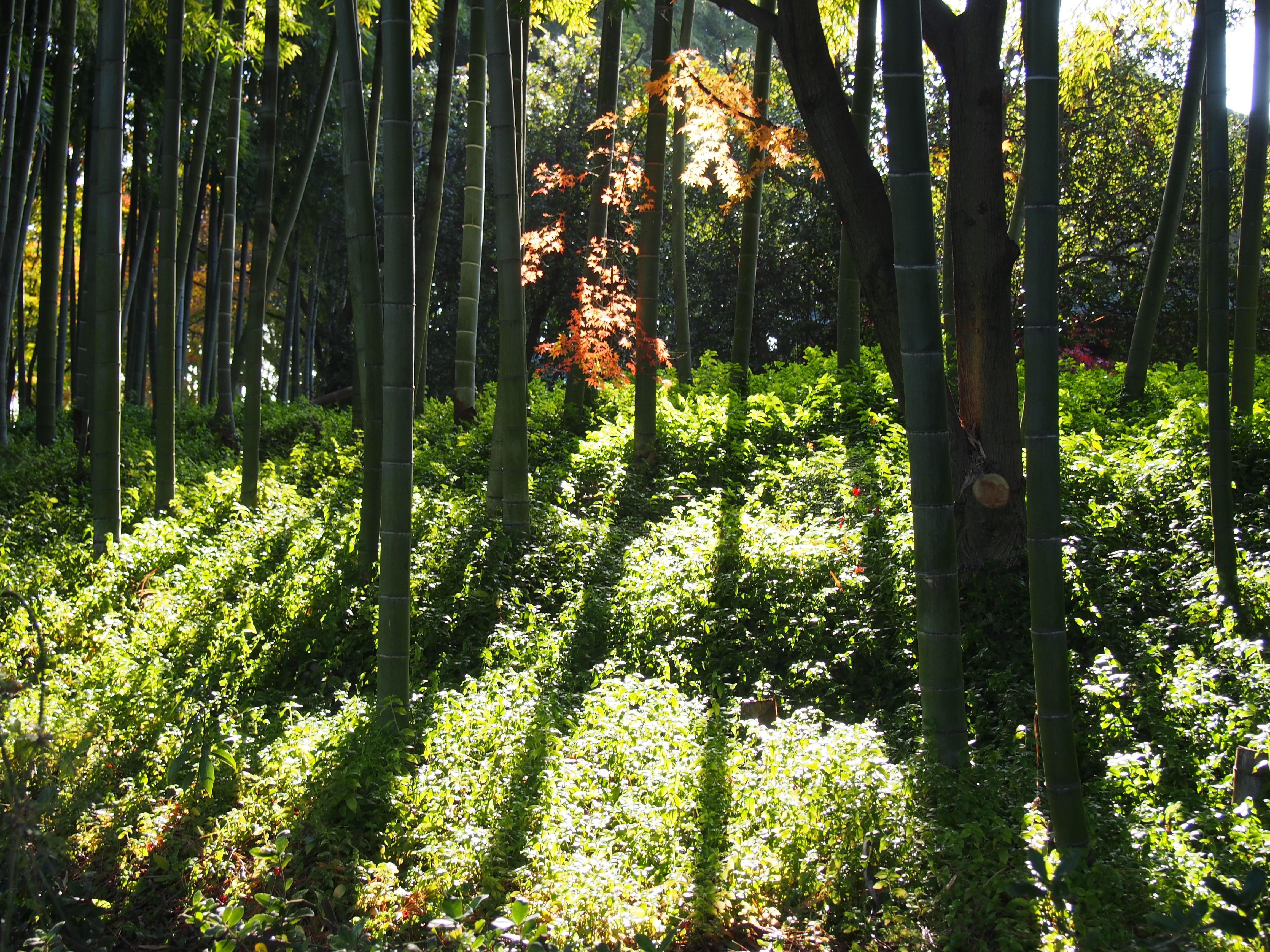 中津万象園 朝陽の竹林
