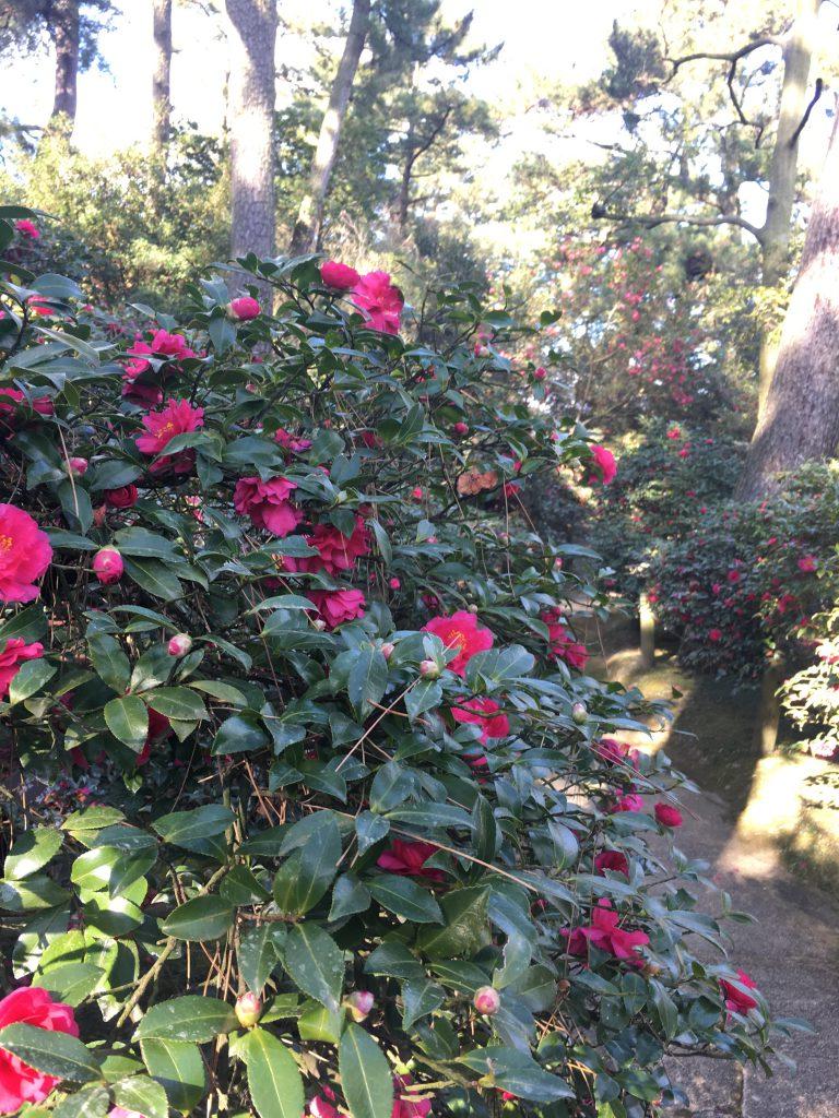 山茶花の小路